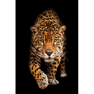 Spotted Wild Cat – Panther 80×120
